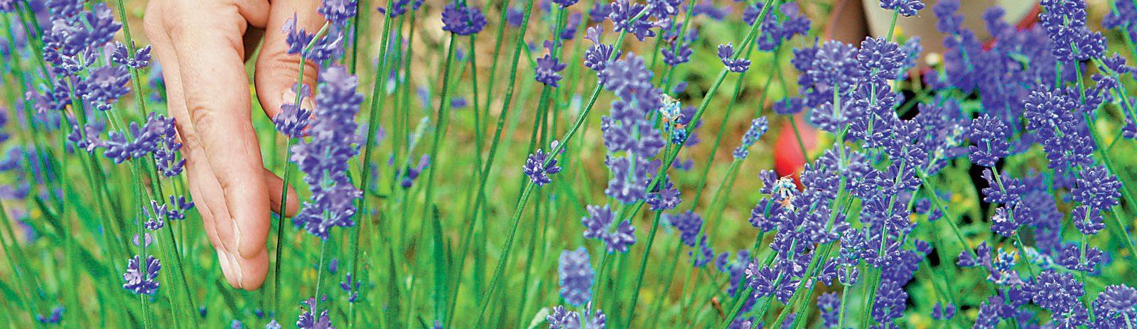 Αρωματικά και Φαρμακευτικά φυτά. Ένας αναξιοποίητος θησαυρός.